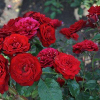 Роза бордюрная Таманго-1