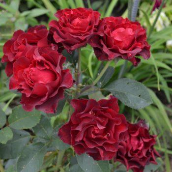 Роза бордюрная Таманго-2