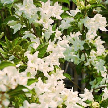 Вейгела Кандида (Weigela florida Candida)-1