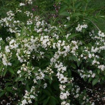 Вейгела Кандида (Weigela florida Candida)-2