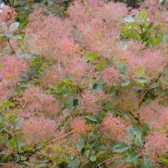 Скумпия (париковое дерево) кожевенная
