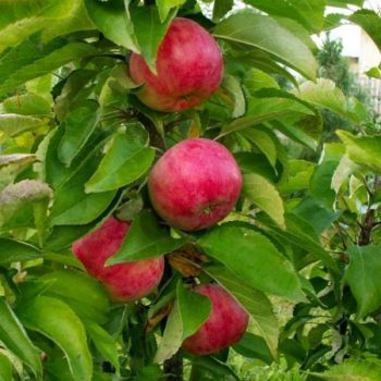 Яблоня колоновидная Гейзер-2