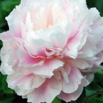 Пион молочноцветковый Монинг Кисс