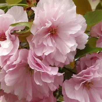 Миндаль декоративный Розовый туман-2