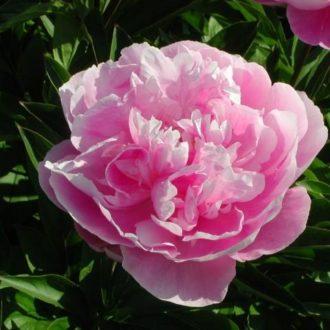 Пион молочноцветковый Гейбордер Джун