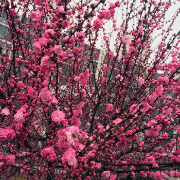 Миндаль декоративный Розовый туман-1