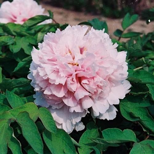 Пион древовидный Букет Розовых Гвоздик