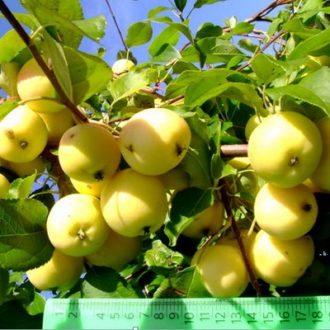Яблоня Уральское наливное