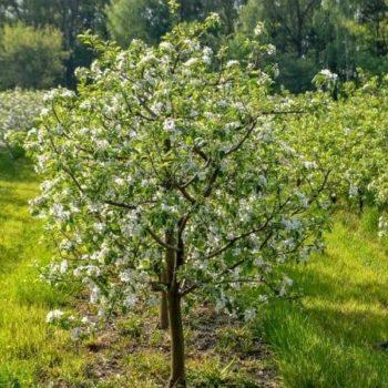 Яблоня Чудное-1