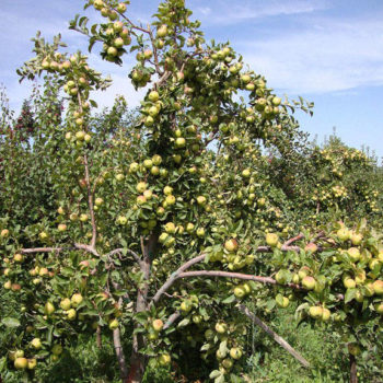 Яблоня Чудное-2