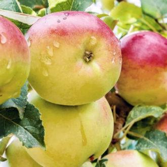 Яблоня Чудное