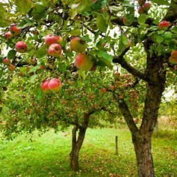 Яблоня Мечта-1