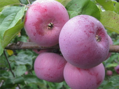 Яблоня Алеся-1