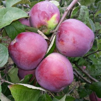 Яблоня Алеся-2