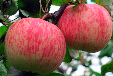 Яблоня Бельфлер