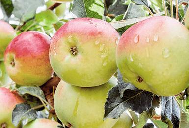 Яблоня Чудное-3