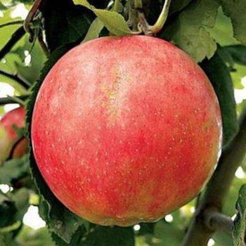Яблоня Солнышко-3