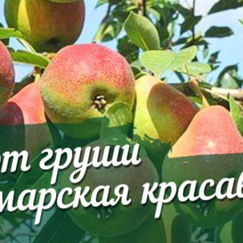 Груша Самарская Красавица-2