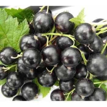 Смородина черная Деликатес-2