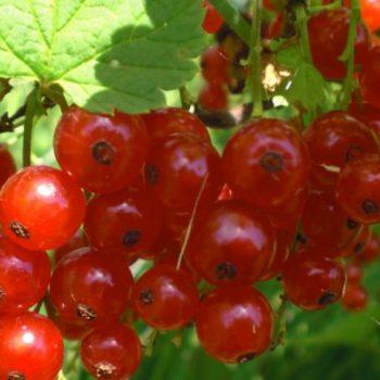 Красная смородина Алтайская рубиновая-1