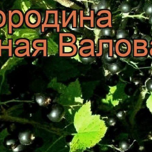 Смородина черная Валовая