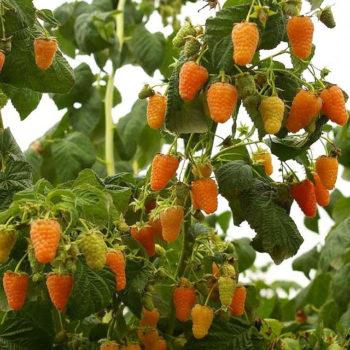 Малина Оранжевое чудо-1