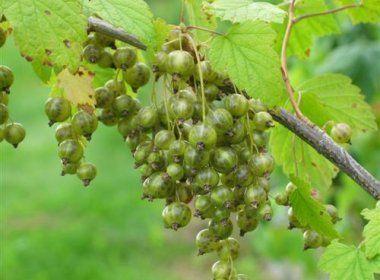 Смородина зеленоплодная Верти-1